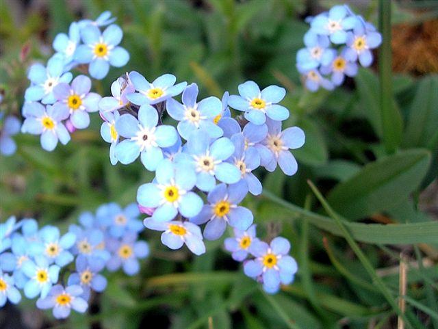 De Flores En La Montana: Una Preciosa Flor De Montaña